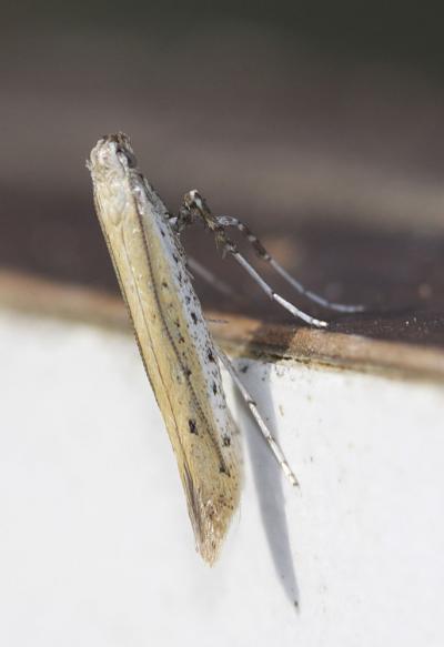 Aspilapteryx tringipennella (Zeller, 1839)