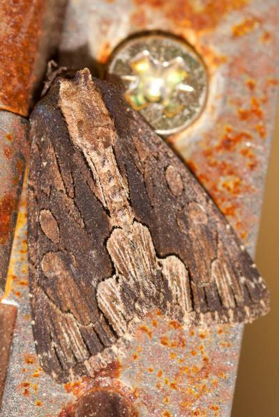 Noctuelle hérissée (La) Dypterygia scabriuscula (Linnaeus, 1758)