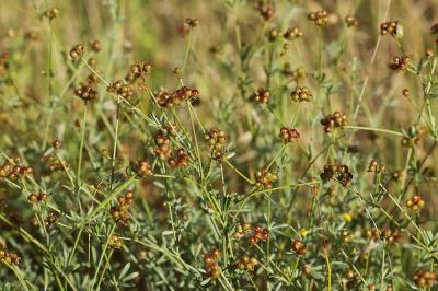 Dorycnium grêle Dorycnium pentaphyllum subsp. gracile (Jord.) Rouy, 1899