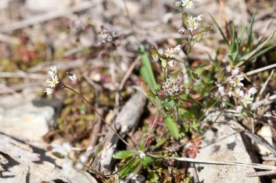 Drave de printemps Draba verna L., 1753