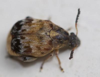 Megabruchidius tonkineus (Pic, 1904)