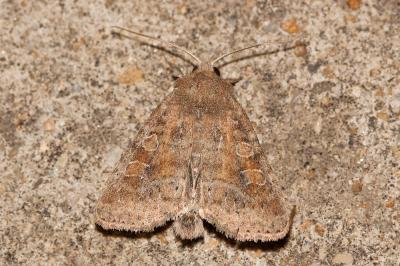 Parastichtis suspecta (Hübner, 1817)