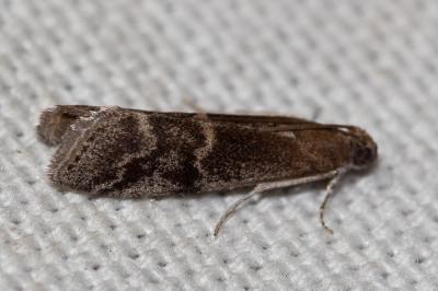 Euzophera bigella (Zeller, 1848)