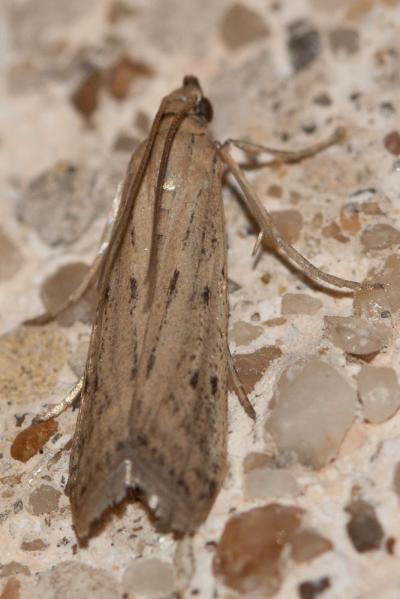 Homoeosoma inustella Ragonot, 1884