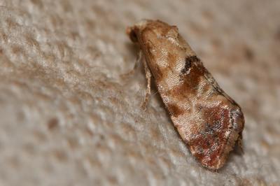 Cochylis salebrana (Mann, 1862)