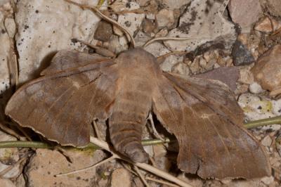 Sphinx du Peuplier (Le) Laothoe populi (Linnaeus, 1758)