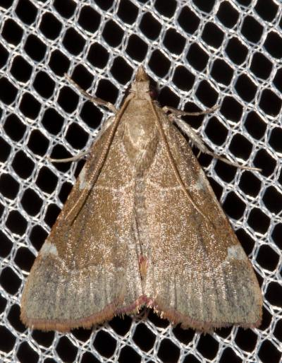 Ocrasa fulvocilialis (Duponchel, 1834)