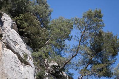 Pin blanc de Provence, Pin d'Alep, Pin blanc Pinus halepensis Mill., 1768