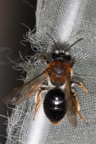 Andrena haemorrhoa (Fabricius, 1781)
