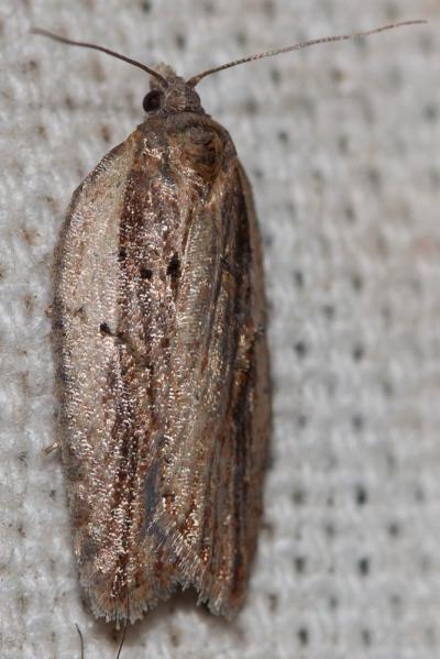 Tordeuses Tortricidae Latreille, 1802