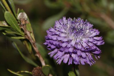 Turbith Globularia alypum L., 1753