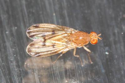 Lyciella decempunctata (Fallén, 1820)