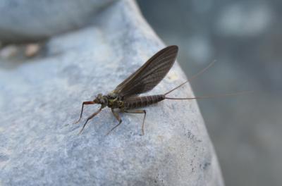 Ephemeridae