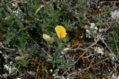 Argyrolobe de Linné Argyrolobium zanonii (Turra) P.W.Ball, 1968
