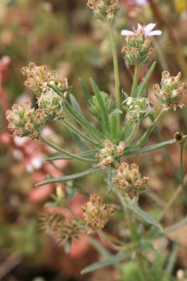 Plantain scabre Plantago arenaria Waldst. & Kit., 1802