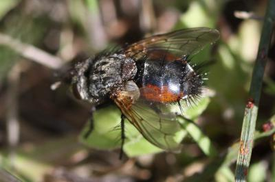 Peleteria meridionalis (Robineau-Desvoidy, 1830)