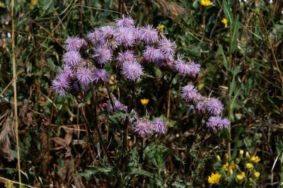 Cirse des champs Cirsium arvense (L.) Scop., 1772