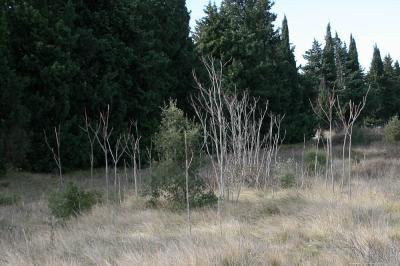 Faux vernis du Japon, Ailante glanduleux, Ailante, Ailanthus altissima (Mill.) Swingle, 1916