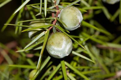 Genévrier oxycèdre, Cèdre piquant Juniperus oxycedrus L., 1753