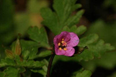 Géranium pourpre Geranium purpureum Vill., 1786