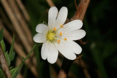 Stellaire holostée Stellaria holostea L., 1753