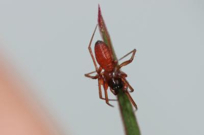 Érigone cul-noir Ostearius melanopygius (O. Pickard-Cambridge, 1879)