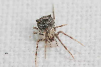 Araignée cannibale Ero aphana (Walckenaer, 1802)