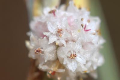 Cuscute à petites fleurs Cuscuta epithymum (L.) L., 1774