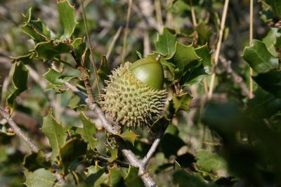 Chêne Kermès Quercus coccifera L., 1753