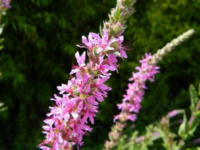 Salicaire commune Lythrum salicaria L., 1753