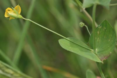 Gesse aphylle, Gesse sans feuilles Lathyrus aphaca L., 1753