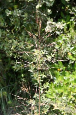 Chrysopogon grillon Chrysopogon gryllus (L.) Trin., 1820