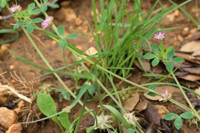 Trèfle renversé, Trèfle de Perse Trifolium resupinatum L., 1753