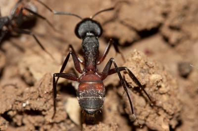 Camponotus cruentatus (Latreille, 1802)