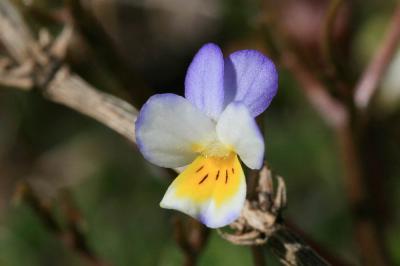 Pensée sauvage Viola tricolor L., 1753