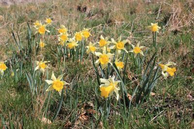 Jonquille des bois Narcissus pseudonarcissus L., 1753
