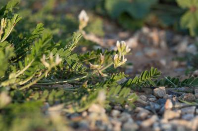 Astragale en hameçon Astragalus hamosus L., 1753
