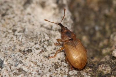 Derelomus chamaeropis (Fabricius, 1798)