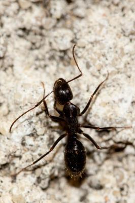 Camponotus aethiops (Latreille, 1798)