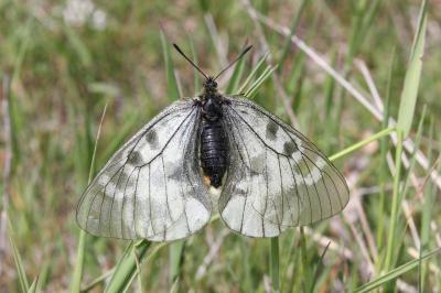 Semi-Apollon (Le) Parnassius mnemosyne (Linnaeus, 1758)
