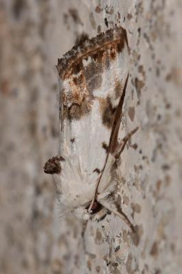 Calophasia opalina (Esper, 1793)