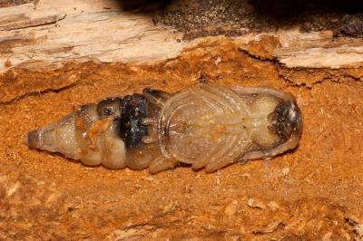 Cerambyx Ergates faber (Linnaeus, 1761)