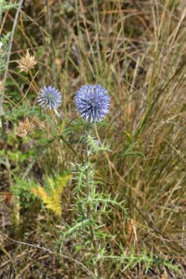 Échinops, Chardon bleu Echinops ritro L., 1753