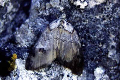 Chesias rufata (Fabricius, 1775)