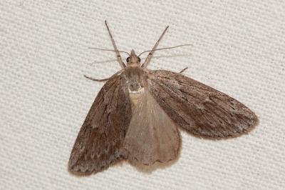 Pachycnemia hippocastanaria (Hübner, 1799)