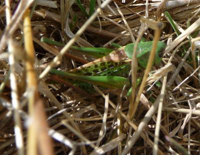 Dectique verrucivore, Sauterelle à sabre, Sauterel Decticus verrucivorus (Linnaeus, 1758)
