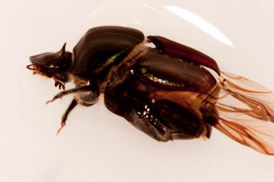 Onthophagus Latreille, 1802