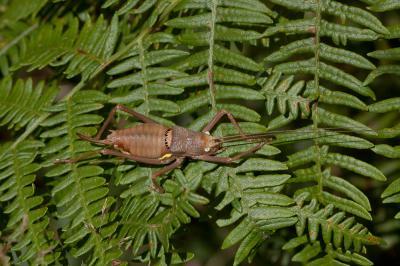 Ephippigère carénée Uromenus rugosicollis (Audinet-Serville, 1838)