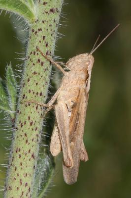 Criquet des garrigues Omocestus raymondi (Yersin, 1863)