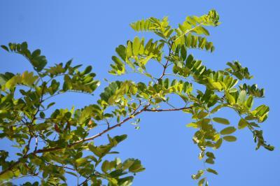 Robinier faux-acacia, Carouge Robinia pseudoacacia L., 1753